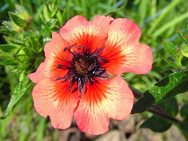 Цветки оранжево-алые