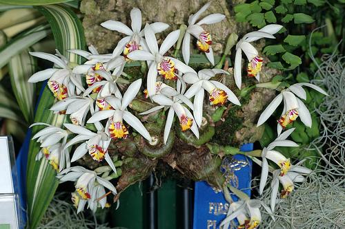 Цветки белые с белыми кончиками листочков