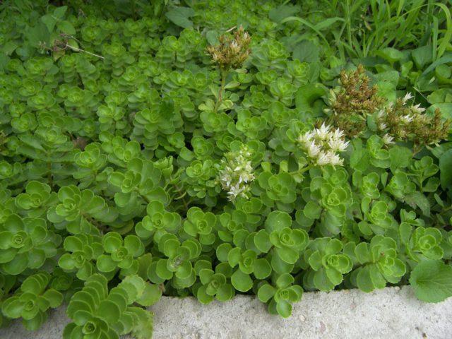 Щитковидные соцветия