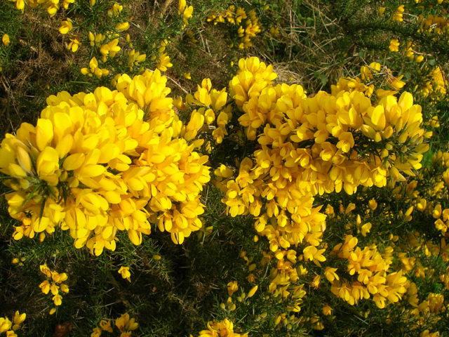 Золотисто-желтые цветки