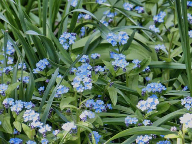 Сорт со светло-голубыми цветками