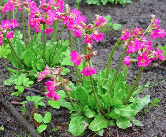 В конце весны образует зонтики крупных ярко-розовых цветков