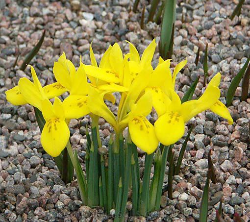 Цветки ярко-желтые, ароматные