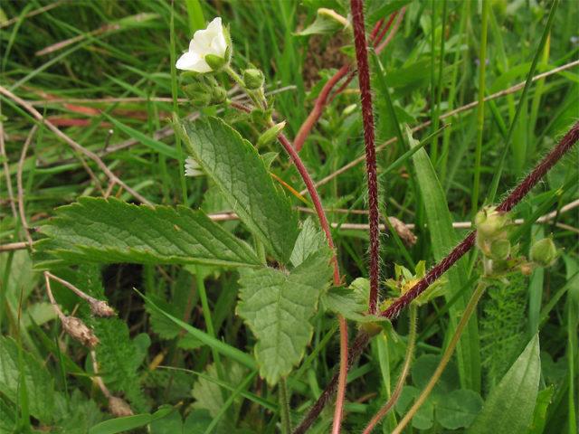 Сорт образует белые цветки на вертикальных или раскидистых стеблях