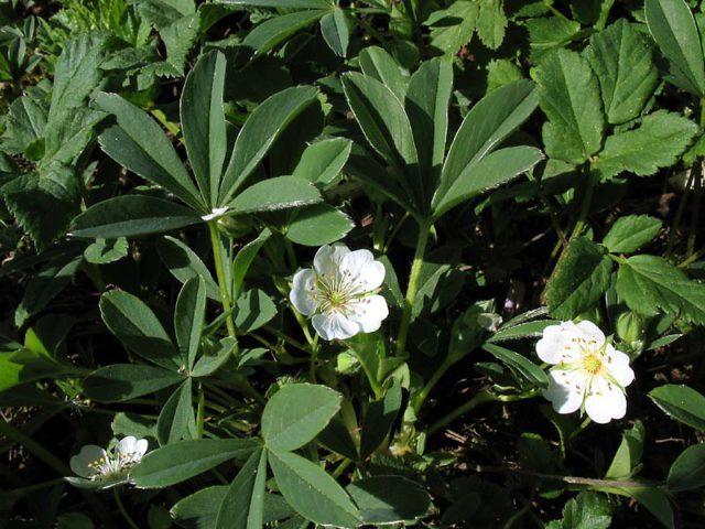 Белые цветки с желтым глазком