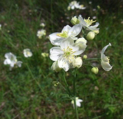 Беловато-кремовые цветки