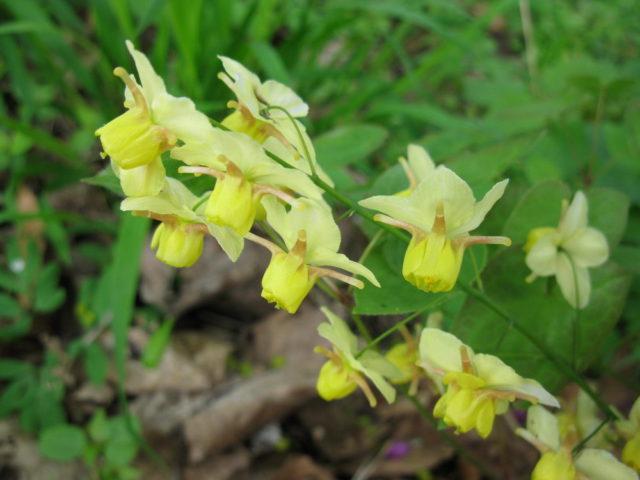 Цветки желтые с длинными красноватыми шпорцами