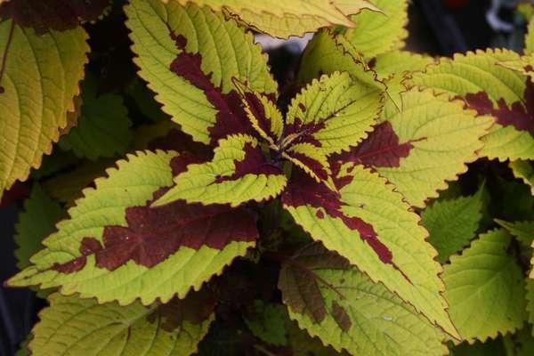 Крупные листья сорта зеленовато-золотистого цвета