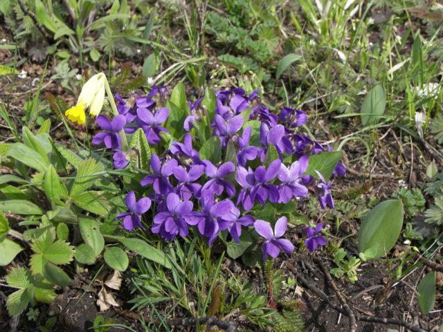 Фиолетовые, глубоко рассеченные на пять лопастей цветки