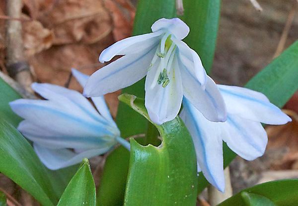 Открытые колокольчатые светло-голубые цветки