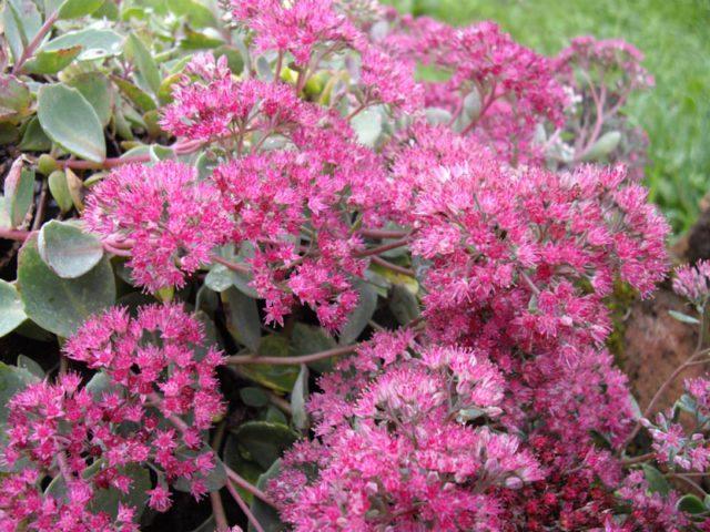 Пурпурные соцветия