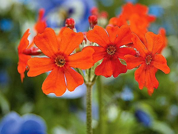 Мутовки оранжево-красных цветков