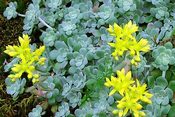 Ярко-желтые цветки диаметром 1,5 см