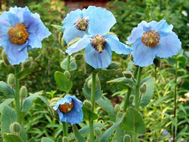 Яркие небесно-голубые цветки