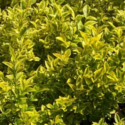 Ланцентные листья