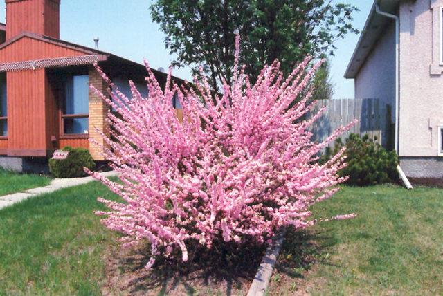 Цветки персиково-розового оттенка