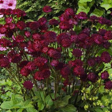 Красные, промежуточные хризантемы