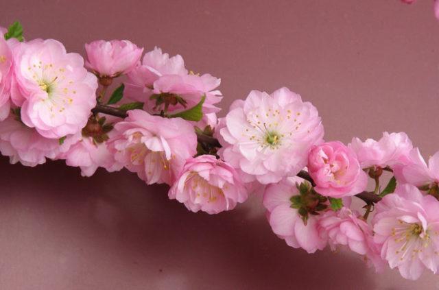 Обильные махровые цветки диаметром 4 см