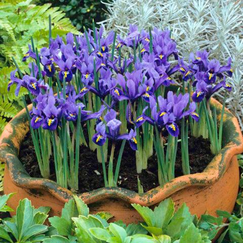 Цветки сине-фиолетовые
