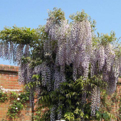 Крупные душистые светло-фиолетовые цветки