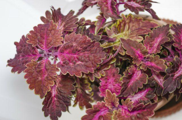 Мелкие листья лососево-розового цвета