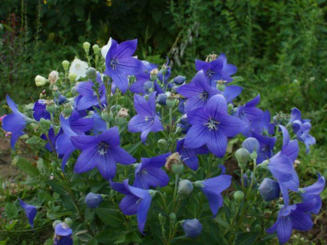 Цветки сорта темно-синие