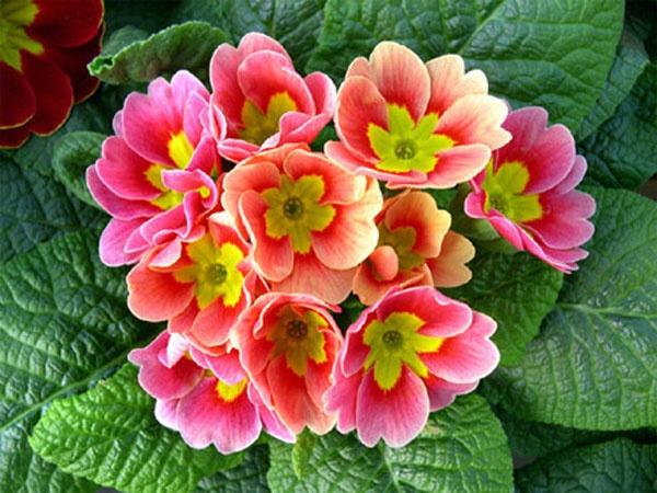 Сорт образует красновато-оранжево-розовые цветки