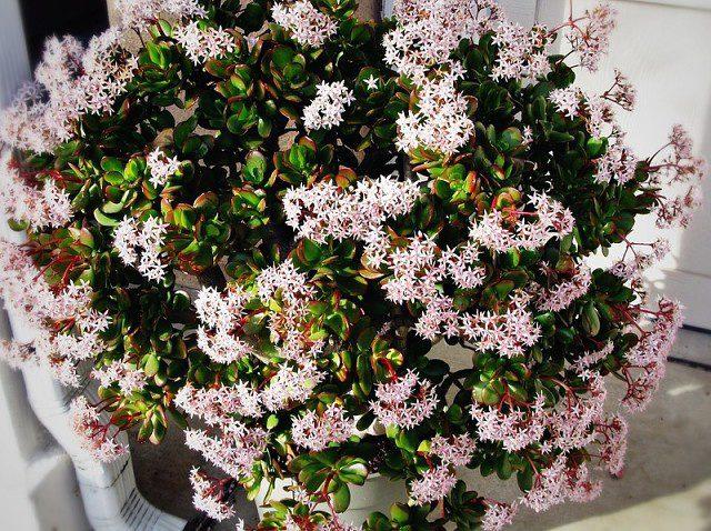 У сорта цветки розовые, пурпурные