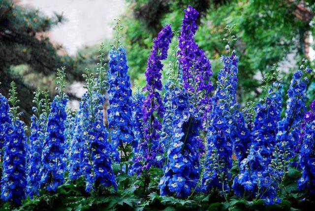 Цветки фиолетовых тонов