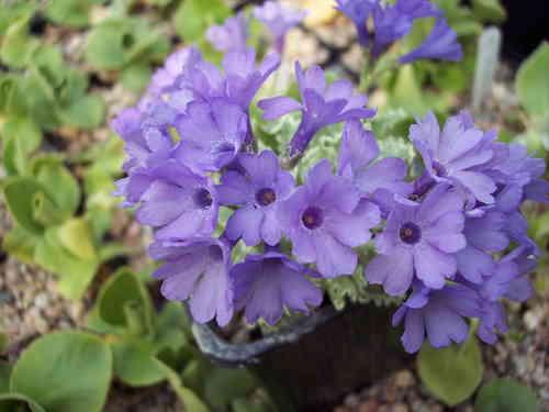 Сине-лиловые цветки
