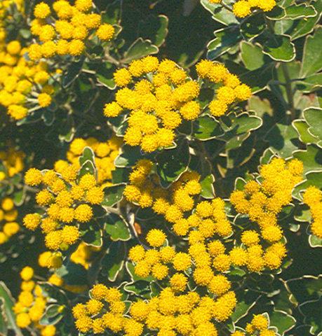"""Yellow Margaret"""