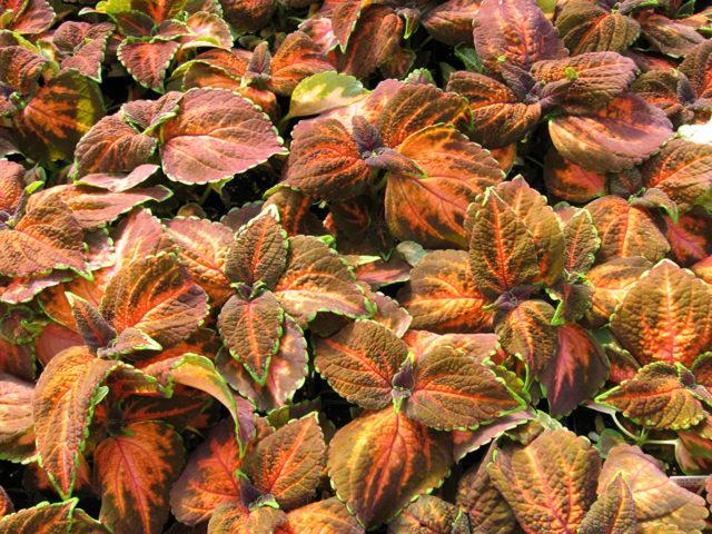 Зеленые листья с темно-бордовым узором