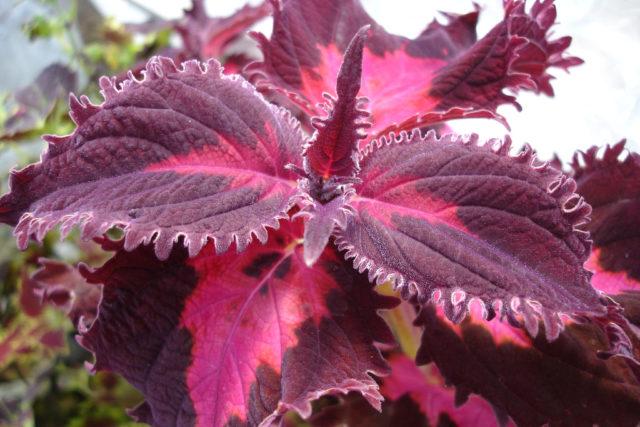 Листья насыщенного свекольно-красного цвета