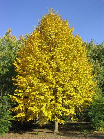 Изящное компактное дерево с округлой кроной