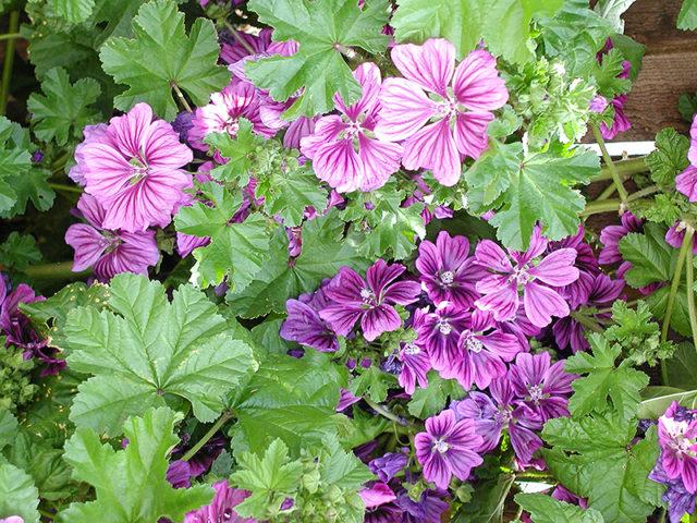 Цветки фуксиновой окраски