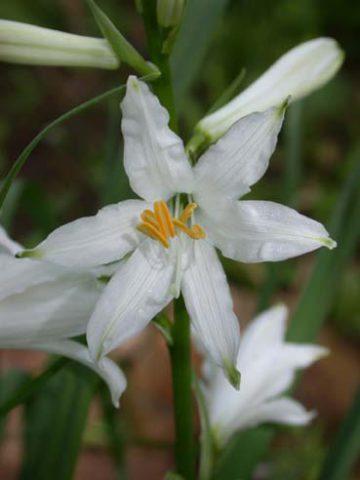 Воронковидные цветки