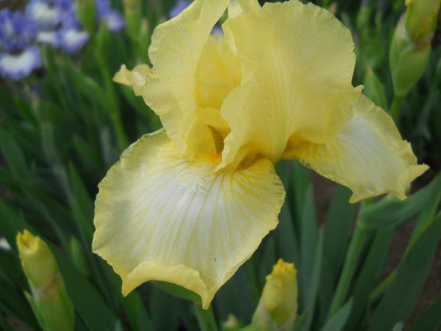 Ярко-лимонные цветки