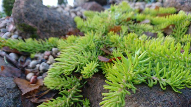 Крупный вечнозеленый почвопокровный многолетник