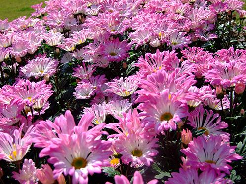 Розовые, помпонные хризантемы