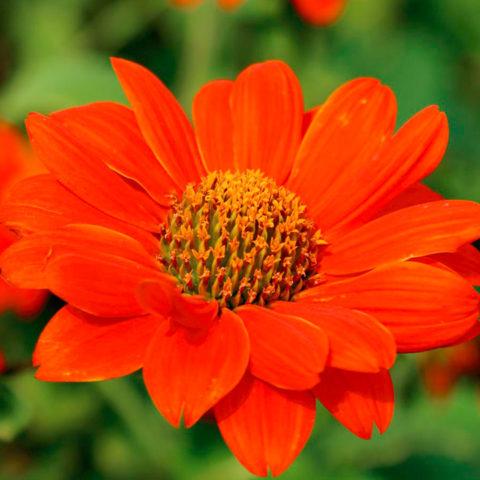 Краевые цветки огненно-красные