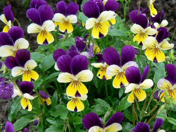 Ароматные белые или лиловые цветки
