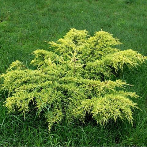 Золотисто-желтое раскидистое растение
