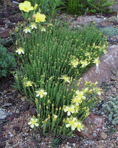 Светло-лимонные цветки