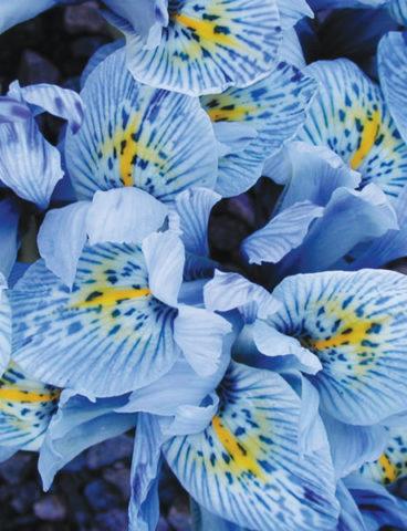 Цветки крупные, имеют голубовато-зеленые стандарты