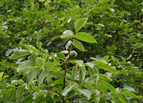 Дерево с серебристой гладкой корой