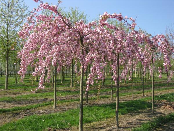 Плакучее дерево с дуговидными ветвями