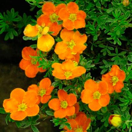 Цветки крупные, светло-медно-желтые