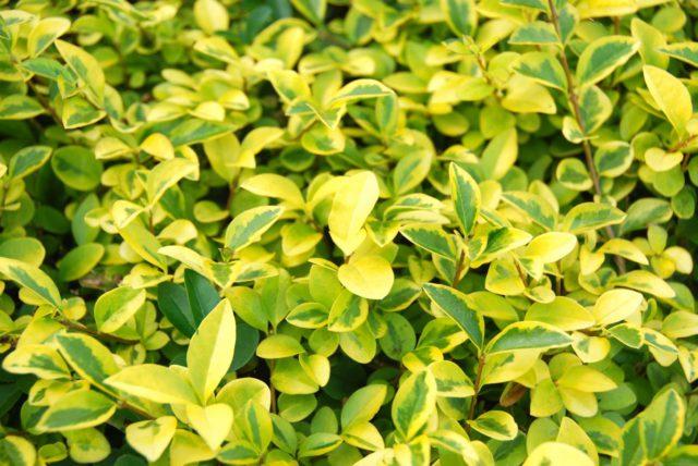 Листья ярко-зеленые