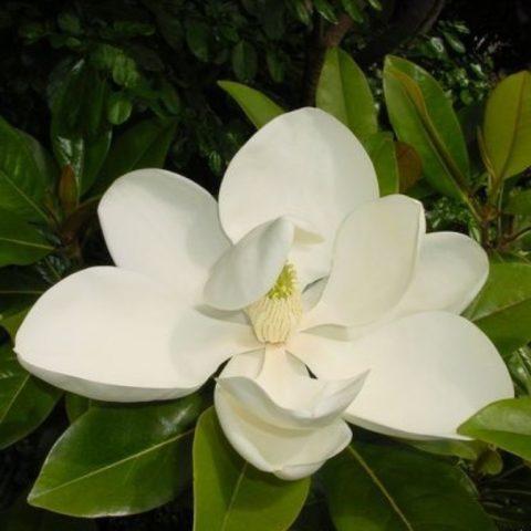 Цветки насыщенного кремового цвета