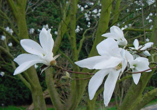 Белые цветки со слабым ароматом